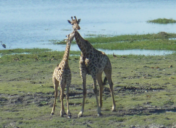 giraffe kissing