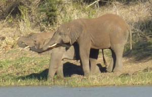 hluhluwe elephants